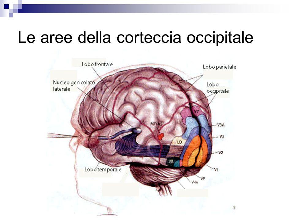 Le aree della corteccia occipitale