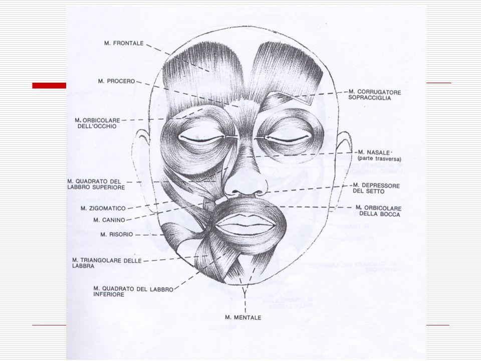Per meglio comprendere il riferimento all'anatomia muscolare delle FACS, i principali muscoli mimici del volto sono indicati nell'illustrazione di seguito riportata.