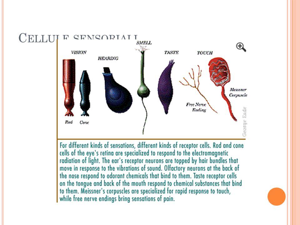 Cellule sensoriali