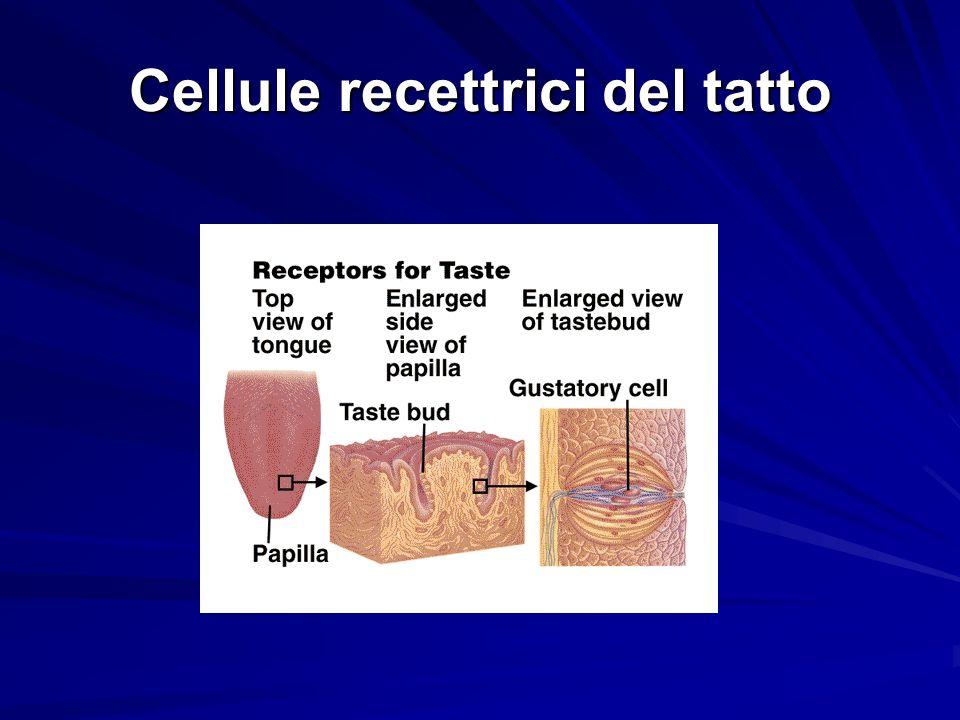 Cellule recettrici del tatto