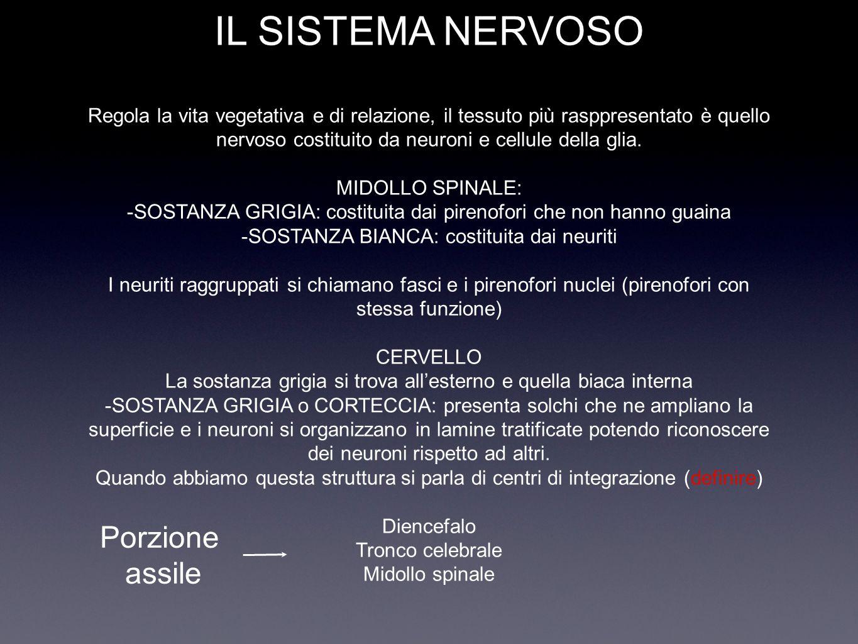 IL SISTEMA NERVOSO Regola la vita vegetativa e di relazione, il tessuto più rasppresentato è quello nervoso costituito da neuroni e cellule della glia. MIDOLLO SPINALE: -SOSTANZA GRIGIA: costituita dai pirenofori che non hanno guaina -SOSTANZA BIANCA: costituita dai neuriti I neuriti raggruppati si chiamano fasci e i pirenofori nuclei (pirenofori con stessa funzione) CERVELLO La sostanza grigia si trova all'esterno e quella biaca interna -SOSTANZA GRIGIA o CORTECCIA: presenta solchi che ne ampliano la superficie e i neuroni si organizzano in lamine tratificate potendo riconoscere dei neuroni rispetto ad altri. Quando abbiamo questa struttura si parla di centri di integrazione (definire) Diencefalo Tronco celebrale Midollo spinale