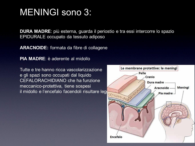 MENINGI sono 3: DURA MADRE: più esterna, guarda il periostio e tra essi intercorre lo spazio EPIDURALE occupato da tessuto adiposo ARACNOIDE: formata da fibre di collagene PIA MADRE: è aderente al midollo Tutte e tre hanno ricca vascolarizzazione e gli spazi sono occupati dal liquido CEFALORACHIDIANO che ha funzione meccanico-protettiva, tiene sospesi il midollo e l'encefalo facendoli risultare leggeri.