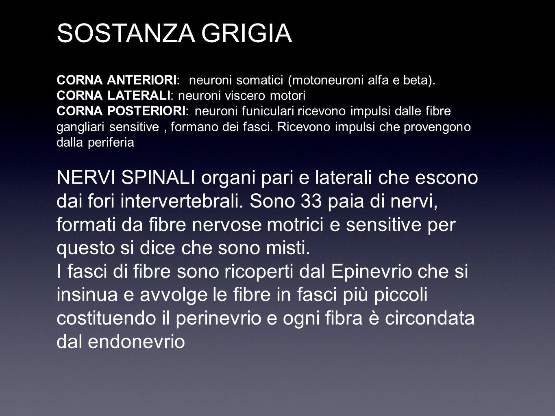 SOSTANZA GRIGIA CORNA ANTERIORI: neuroni somatici (motoneuroni alfa e beta).