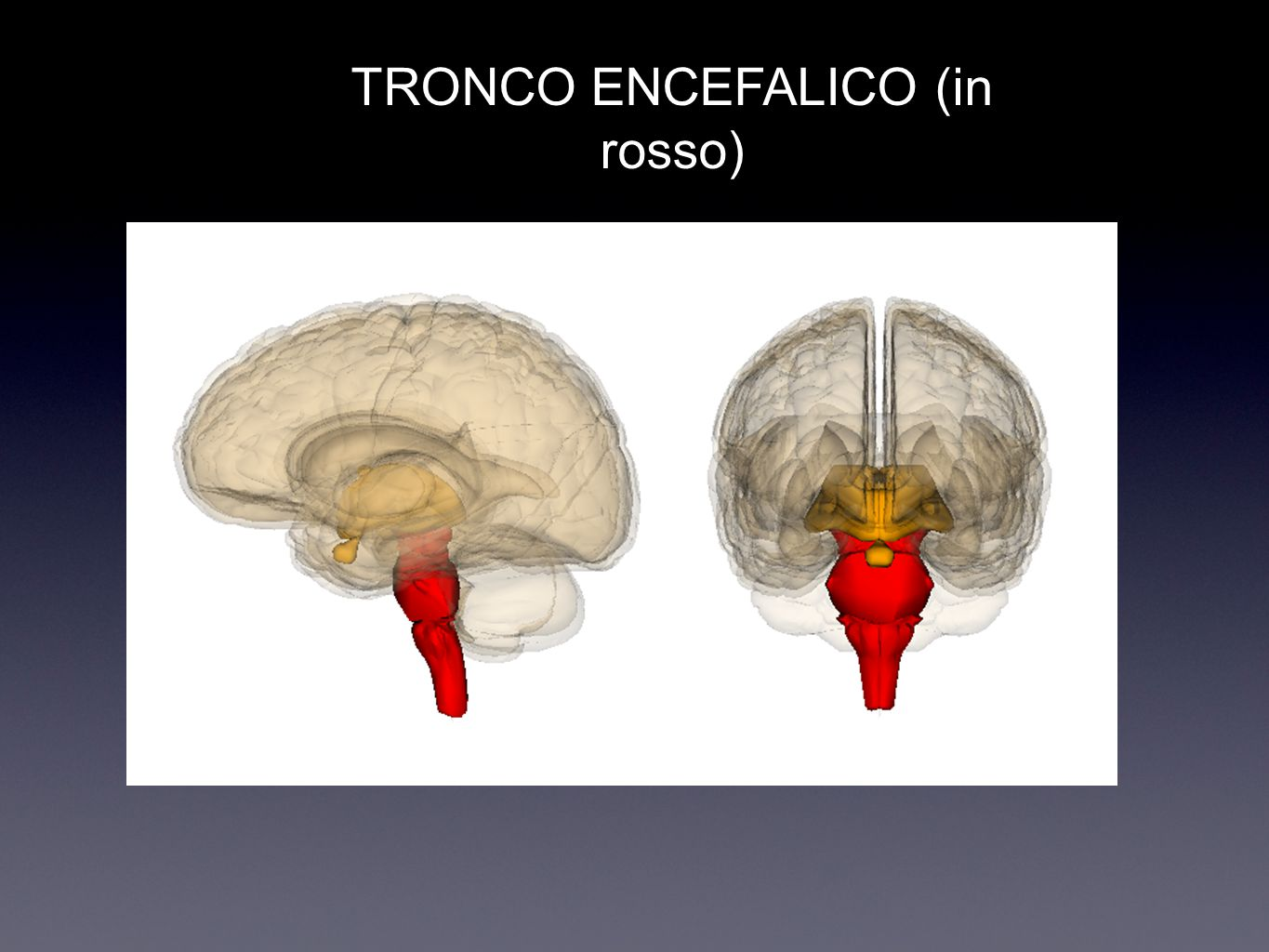 TRONCO ENCEFALICO (in rosso)