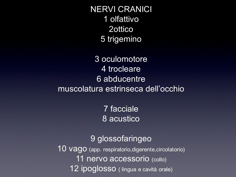 NERVI CRANICI 1 olfattivo 2ottico 5 trigemino 3 oculomotore 4 trocleare 6 abducentre muscolatura estrinseca dell'occhio 7 facciale 8 acustico 9 glossofaringeo 10 vago (app.