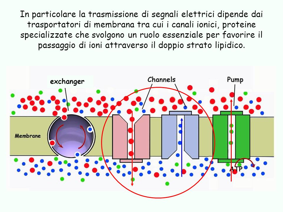 In particolare la trasmissione di segnali elettrici dipende dai trasportatori di membrana tra cui i canali ionici, proteine specializzate che svolgono un ruolo essenziale per favorire il passaggio di ioni attraverso il doppio strato lipidico.