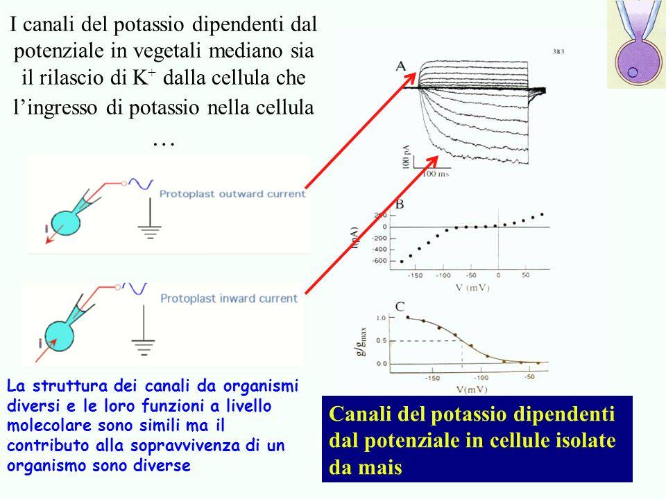 I canali del potassio dipendenti dal potenziale in vegetali mediano sia il rilascio di K+ dalla cellula che l'ingresso di potassio nella cellula …