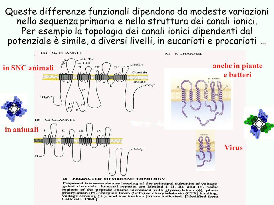 Queste differenze funzionali dipendono da modeste variazioni nella sequenza primaria e nella struttura dei canali ionici. Per esempio la topologia dei canali ionici dipendenti dal potenziale è simile, a diversi livelli, in eucarioti e procarioti …