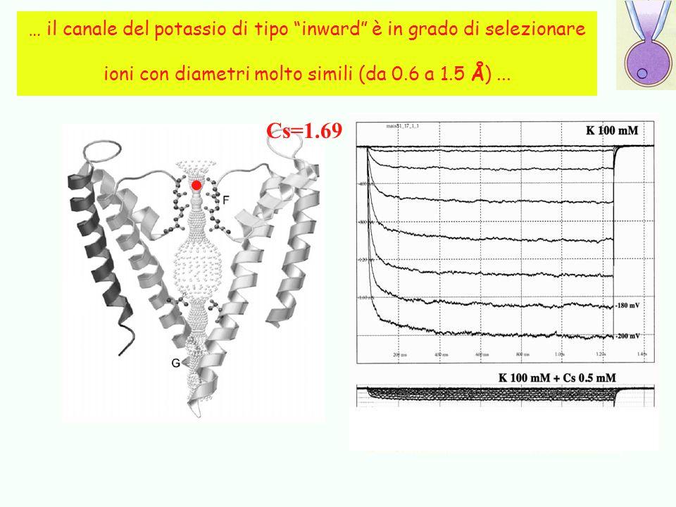 … il canale del potassio di tipo inward è in grado di selezionare ioni con diametri molto simili (da 0.6 a 1.5 Å) ...