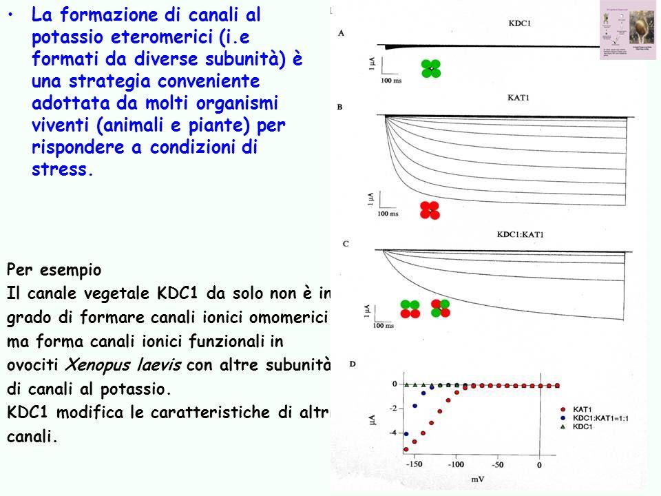 La formazione di canali al potassio eteromerici (i