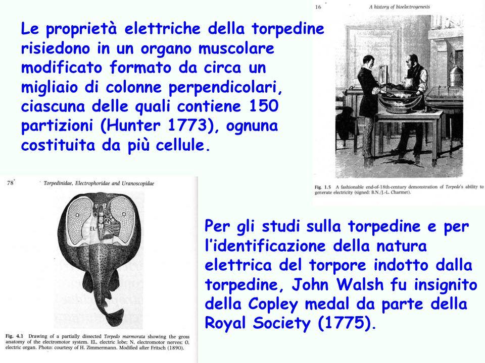 Le proprietà elettriche della torpedine risiedono in un organo muscolare modificato formato da circa un migliaio di colonne perpendicolari, ciascuna delle quali contiene 150 partizioni (Hunter 1773), ognuna costituita da più cellule.