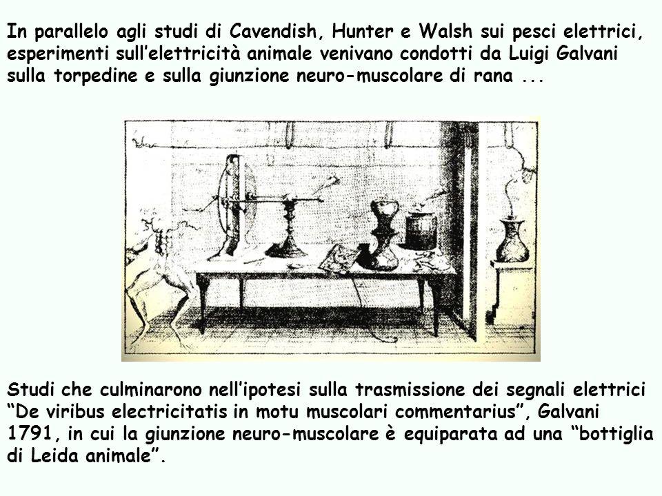 In parallelo agli studi di Cavendish, Hunter e Walsh sui pesci elettrici, esperimenti sull'elettricità animale venivano condotti da Luigi Galvani sulla torpedine e sulla giunzione neuro-muscolare di rana ...