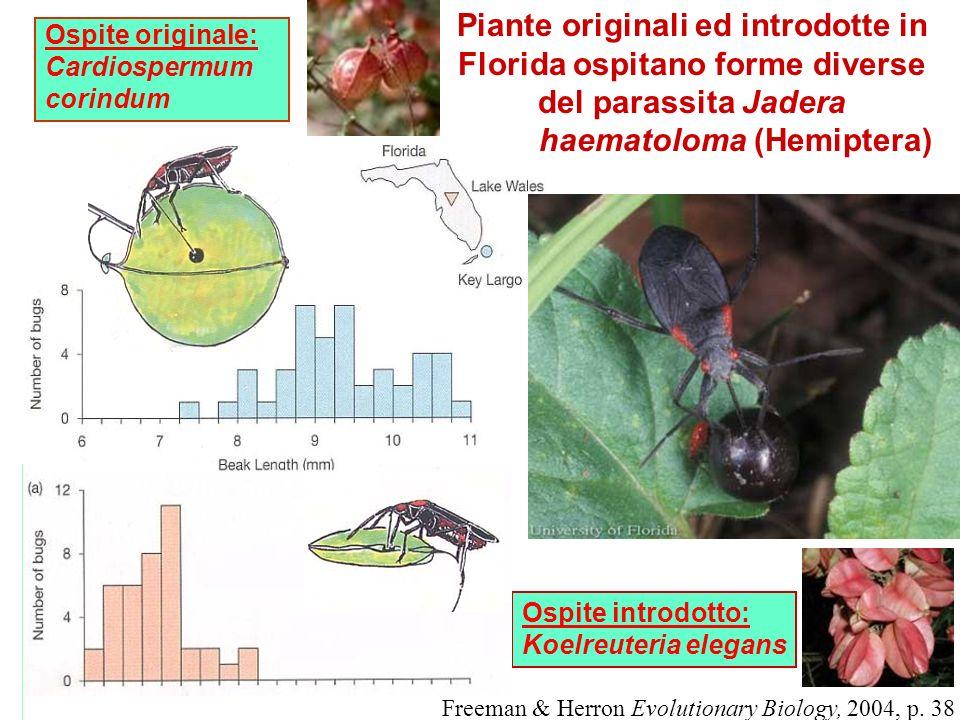 haematoloma (Hemiptera)