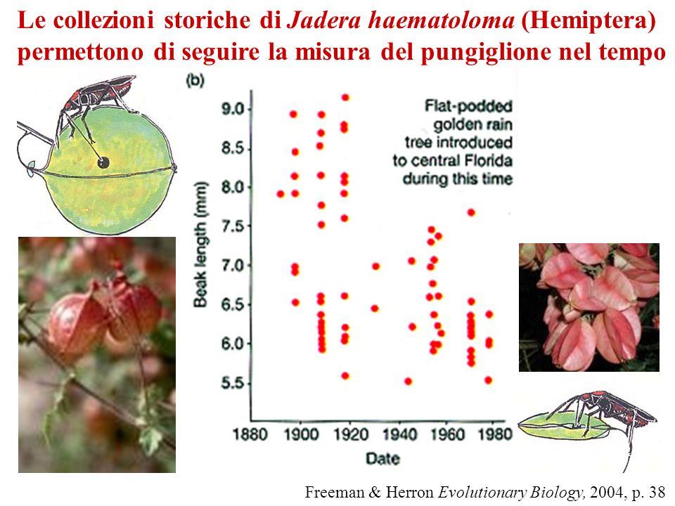 Le collezioni storiche di Jadera haematoloma (Hemiptera)