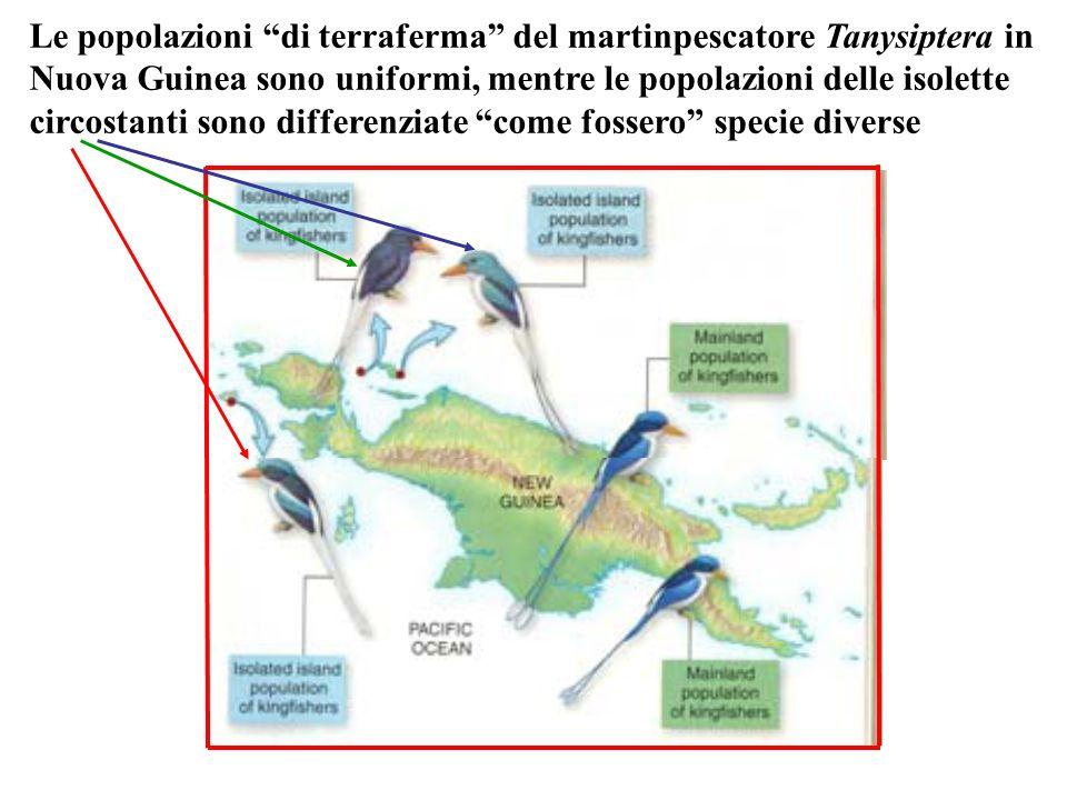 Le popolazioni di terraferma del martinpescatore Tanysiptera in Nuova Guinea sono uniformi, mentre le popolazioni delle isolette circostanti sono differenziate come fossero specie diverse