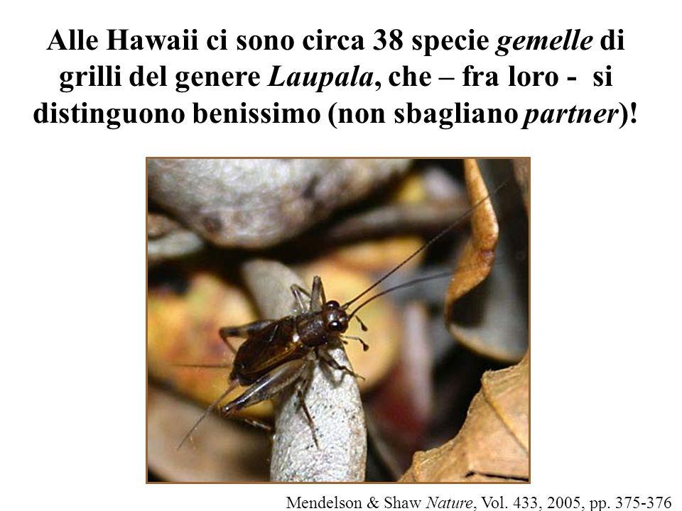 Alle Hawaii ci sono circa 38 specie gemelle di grilli del genere Laupala, che – fra loro - si distinguono benissimo (non sbagliano partner)!