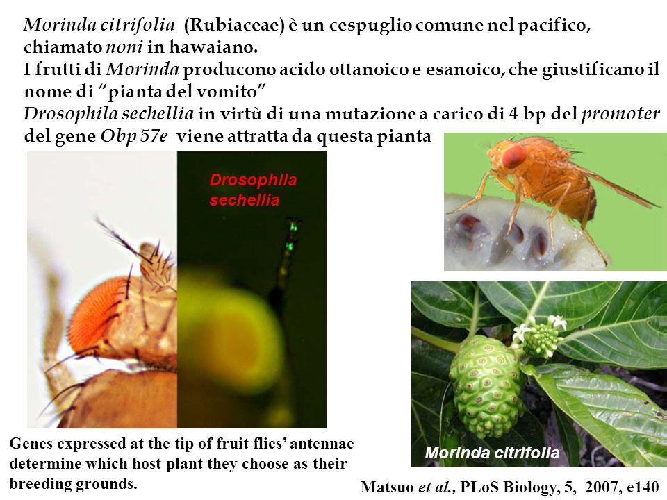Morinda citrifolia (Rubiaceae) è un cespuglio comune nel pacifico, chiamato noni in hawaiano.