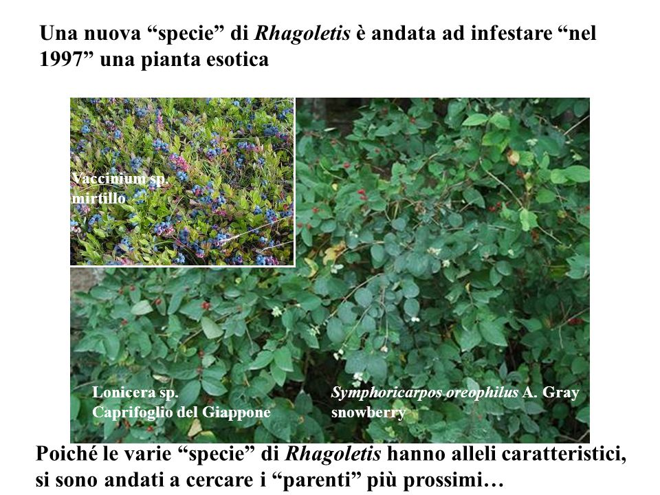 Poiché le varie specie di Rhagoletis hanno alleli caratteristici,