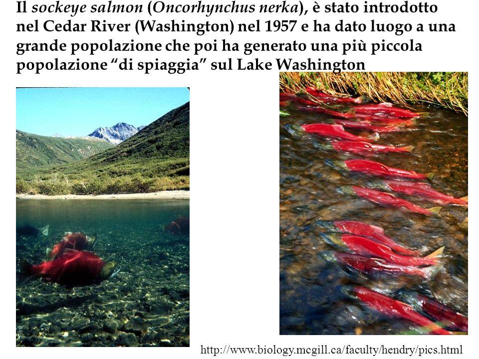 Il sockeye salmon (Oncorhynchus nerka), è stato introdotto nel Cedar River (Washington) nel 1957 e ha dato luogo a una grande popolazione che poi ha generato una più piccola popolazione di spiaggia sul Lake Washington