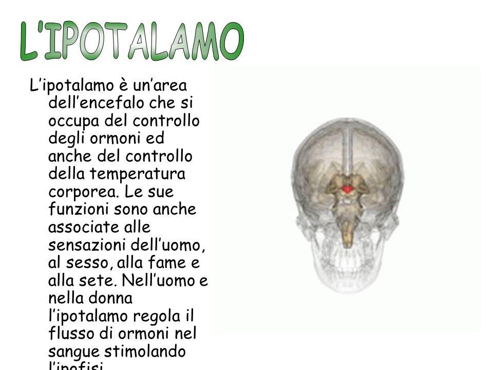L'IPOTALAMO