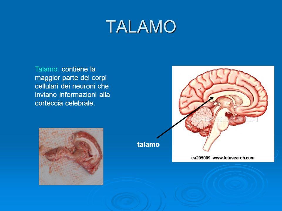 TALAMO Talamo: contiene la maggior parte dei corpi cellulari dei neuroni che inviano informazioni alla corteccia celebrale.
