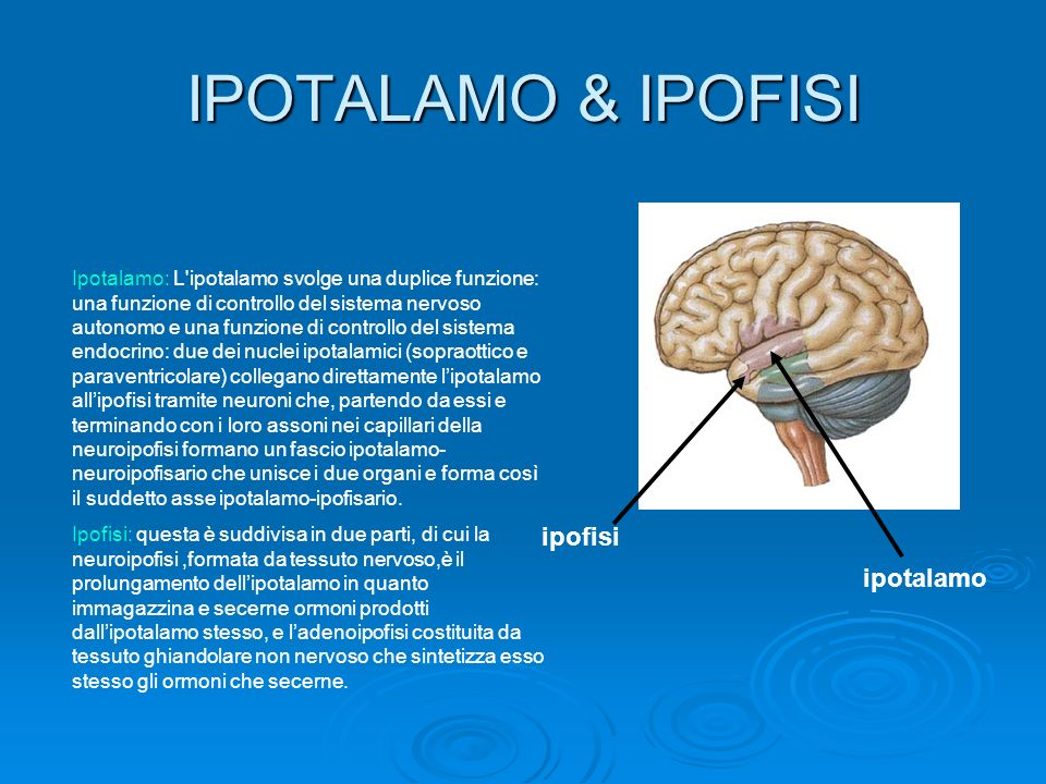 IPOTALAMO & IPOFISI ipofisi ipotalamo