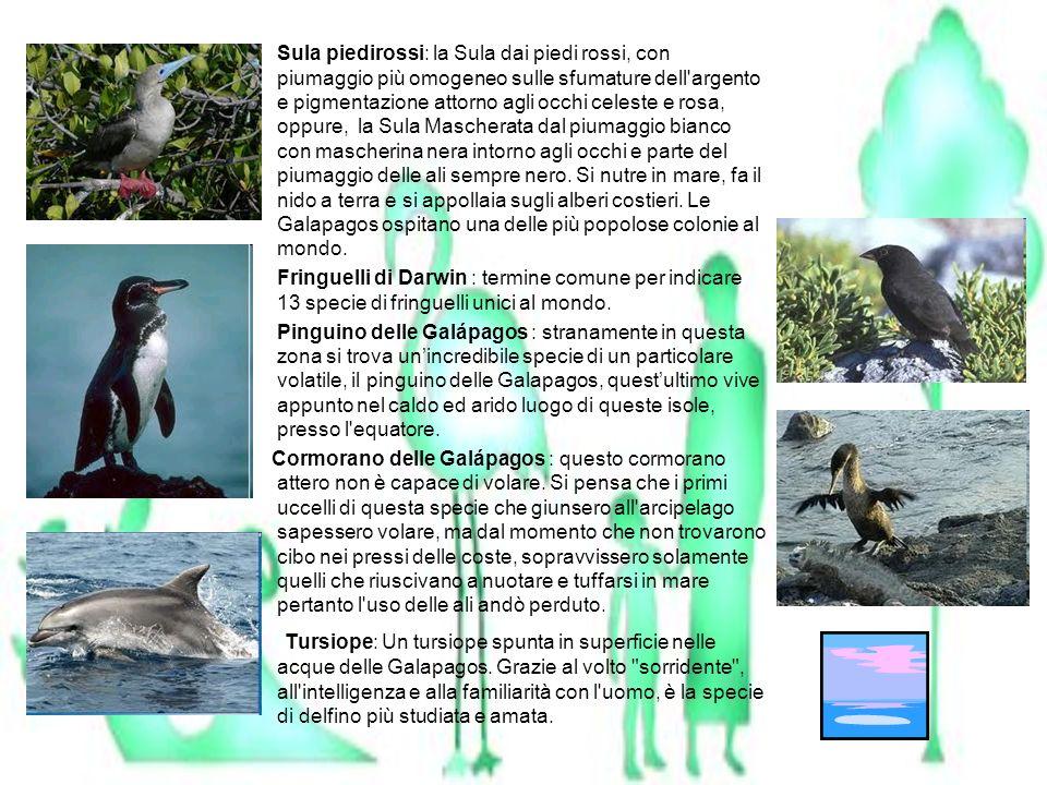 Sula piedirossi: la Sula dai piedi rossi, con piumaggio più omogeneo sulle sfumature dell argento e pigmentazione attorno agli occhi celeste e rosa, oppure, la Sula Mascherata dal piumaggio bianco con mascherina nera intorno agli occhi e parte del piumaggio delle ali sempre nero. Si nutre in mare, fa il nido a terra e si appollaia sugli alberi costieri. Le Galapagos ospitano una delle più popolose colonie al mondo.
