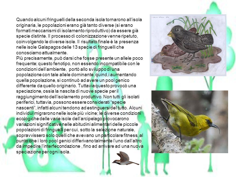 Quando alcuni fringuelli della seconda isola tornarono all'isola originaria, le popolazioni erano già tanto diverse (si erano formati meccanismi di isolamento riproduttivo) da essere già specie distinte.