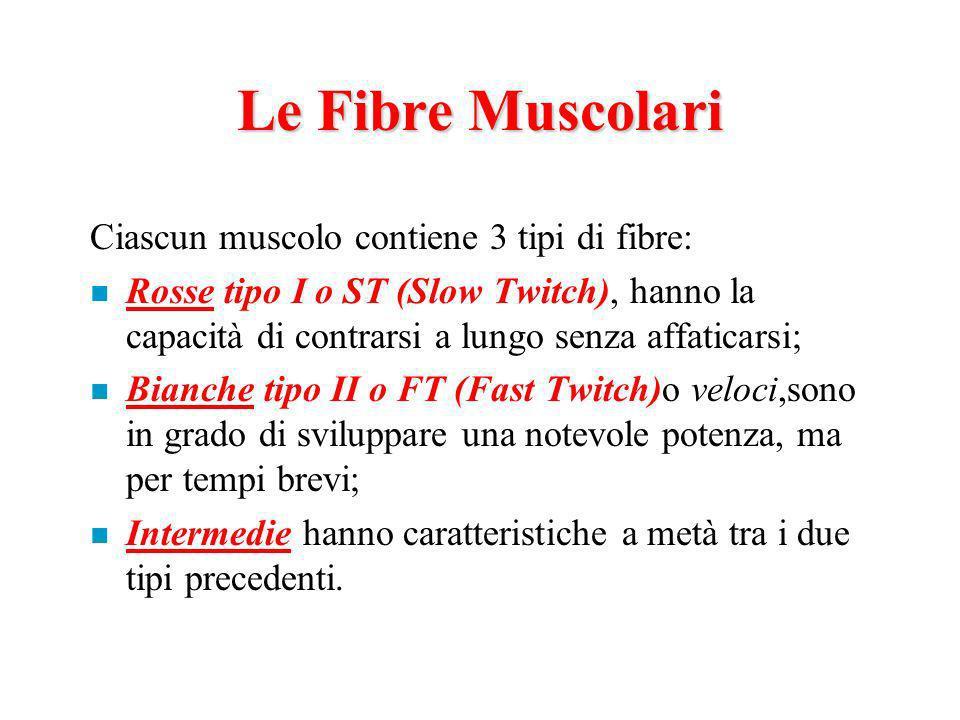 Le Fibre Muscolari Ciascun muscolo contiene 3 tipi di fibre:
