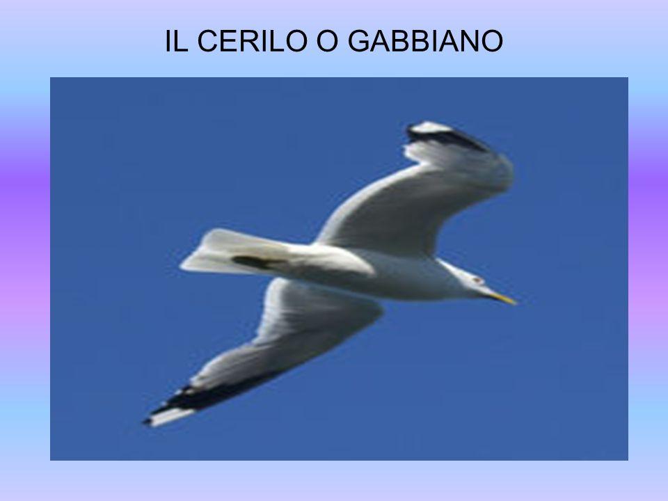 IL CERILO O GABBIANO