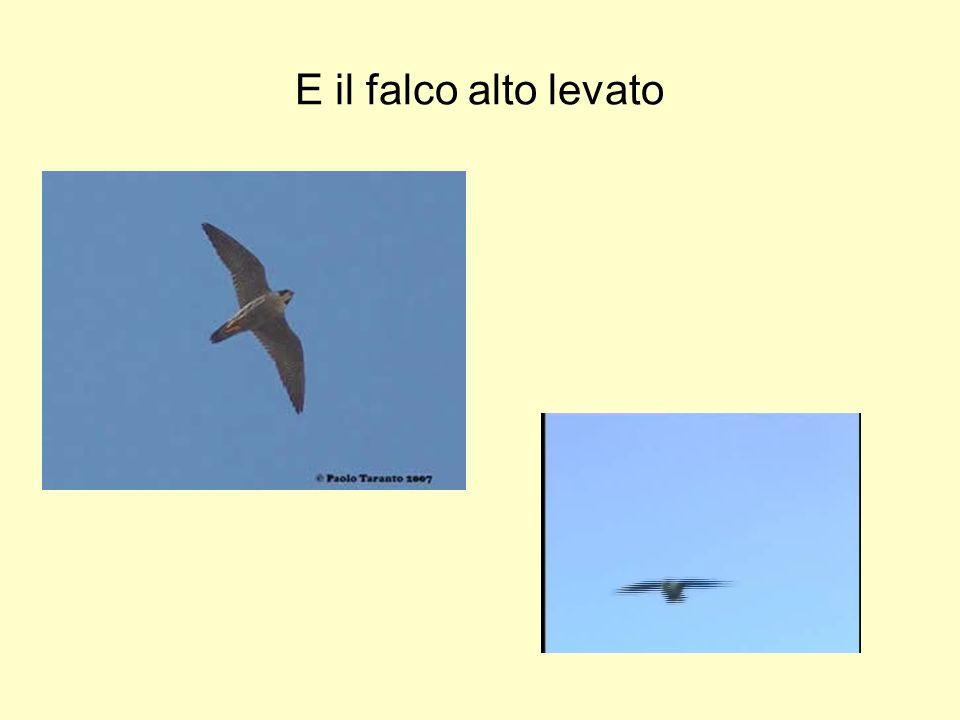 E il falco alto levato