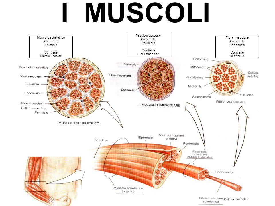 I MUSCOLI Fascio muscolare Avvolto da Perimisio Contiene