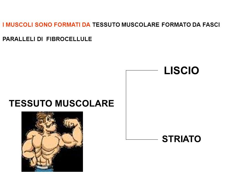 LISCIO TESSUTO MUSCOLARE STRIATO