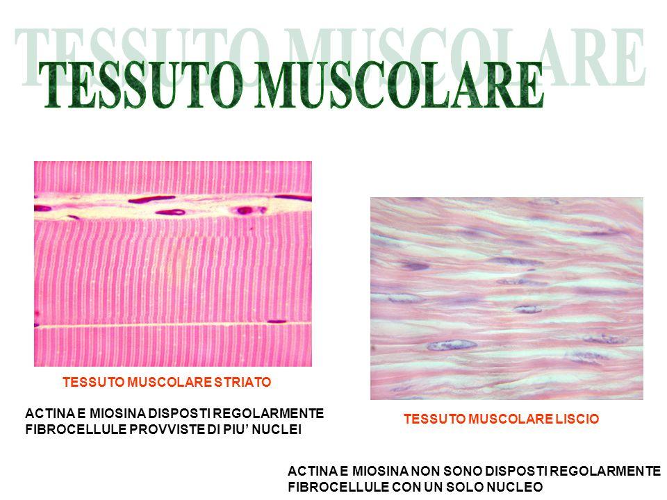 TESSUTO MUSCOLARE TESSUTO MUSCOLARE STRIATO