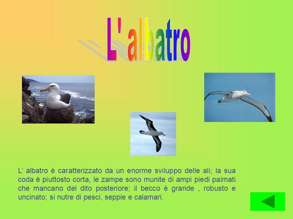 L albatro