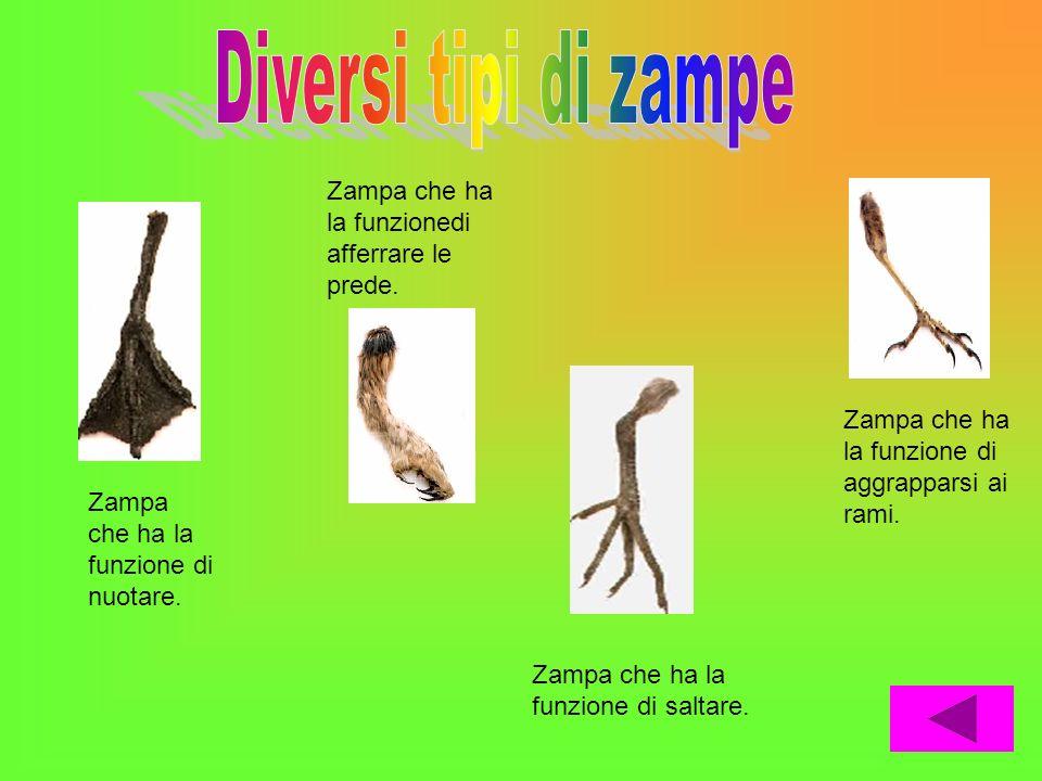 Diversi tipi di zampe Zampa che ha la funzionedi afferrare le prede.