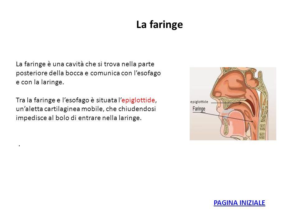 La faringe La faringe è una cavità che si trova nella parte posteriore della bocca e comunica con l'esofago e con la laringe.