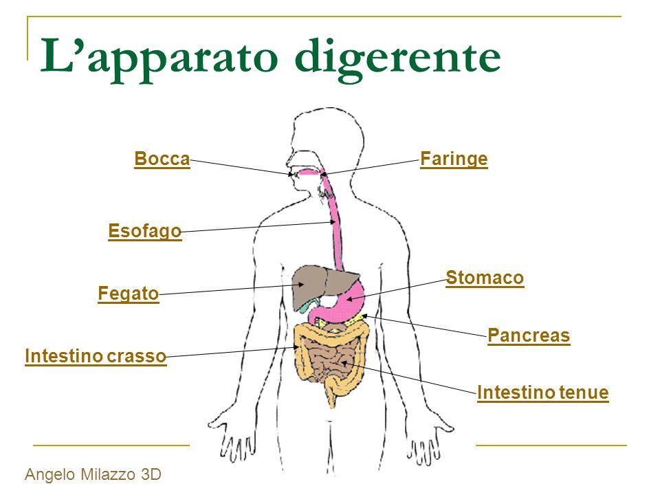 L'apparato digerente Bocca Faringe Esofago Stomaco Fegato Pancreas