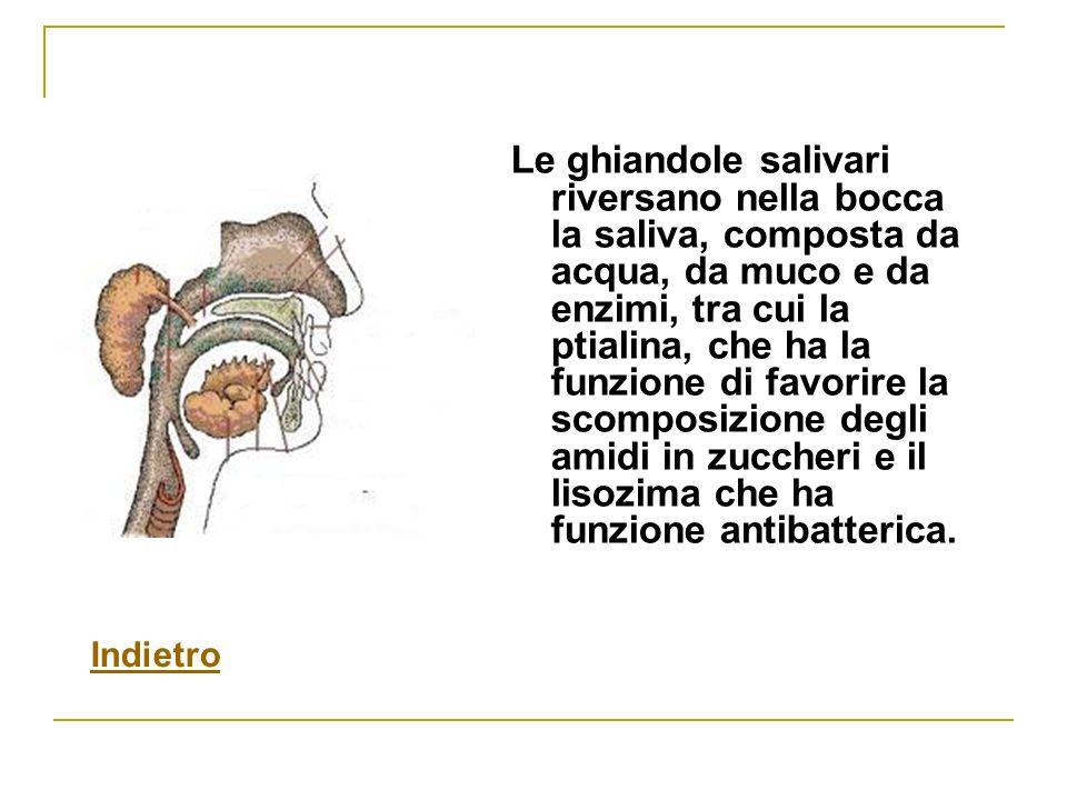Le ghiandole salivari riversano nella bocca la saliva, composta da acqua, da muco e da enzimi, tra cui la ptialina, che ha la funzione di favorire la scomposizione degli amidi in zuccheri e il lisozima che ha funzione antibatterica.
