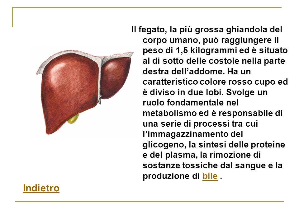 Il fegato, la più grossa ghiandola del corpo umano, può raggiungere il peso di 1,5 kilogrammi ed è situato al di sotto delle costole nella parte destra dell'addome. Ha un caratteristico colore rosso cupo ed è diviso in due lobi. Svolge un ruolo fondamentale nel metabolismo ed è responsabile di una serie di processi tra cui l'immagazzinamento del glicogeno, la sintesi delle proteine e del plasma, la rimozione di sostanze tossiche dal sangue e la produzione di bile .