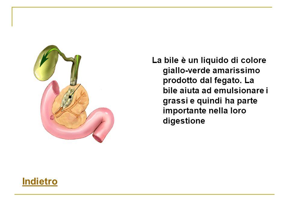 La bile è un liquido di colore giallo-verde amarissimo prodotto dal fegato. La bile aiuta ad emulsionare i grassi e quindi ha parte importante nella loro digestione