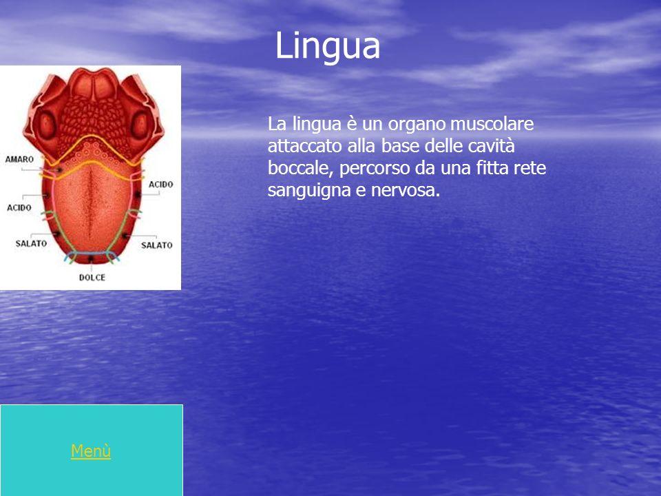 Lingua La lingua è un organo muscolare attaccato alla base delle cavità boccale, percorso da una fitta rete sanguigna e nervosa.