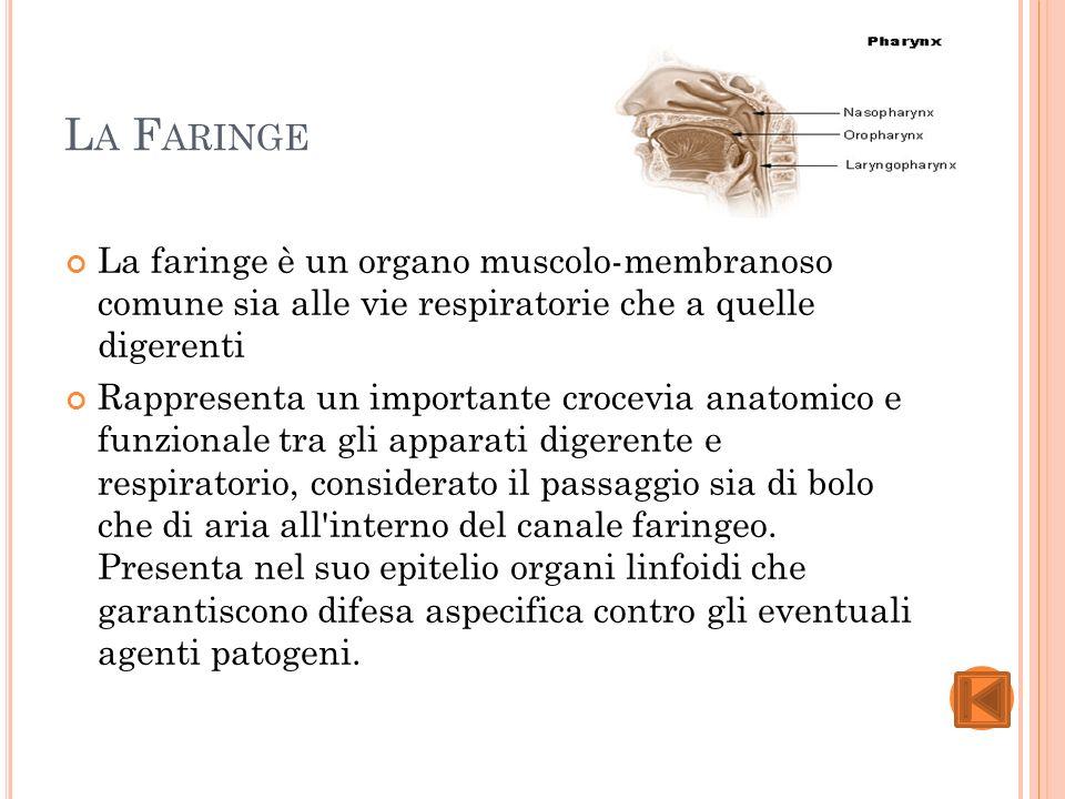 La Faringe La faringe è un organo muscolo-membranoso comune sia alle vie respiratorie che a quelle digerenti.