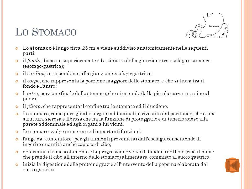 Lo Stomaco Lo stomaco è lungo circa 25 cm e viene suddiviso anatomicamente nelle seguenti parti: