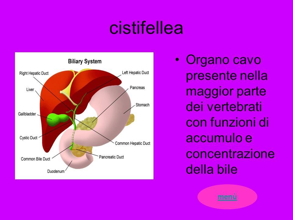 cistifellea Organo cavo presente nella maggior parte dei vertebrati con funzioni di accumulo e concentrazione della bile.