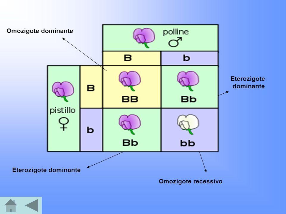Eterozigote dominante