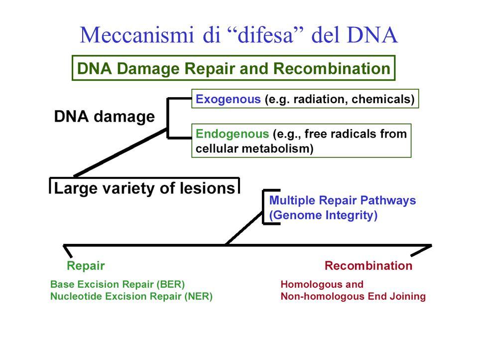 Meccanismi di difesa del DNA