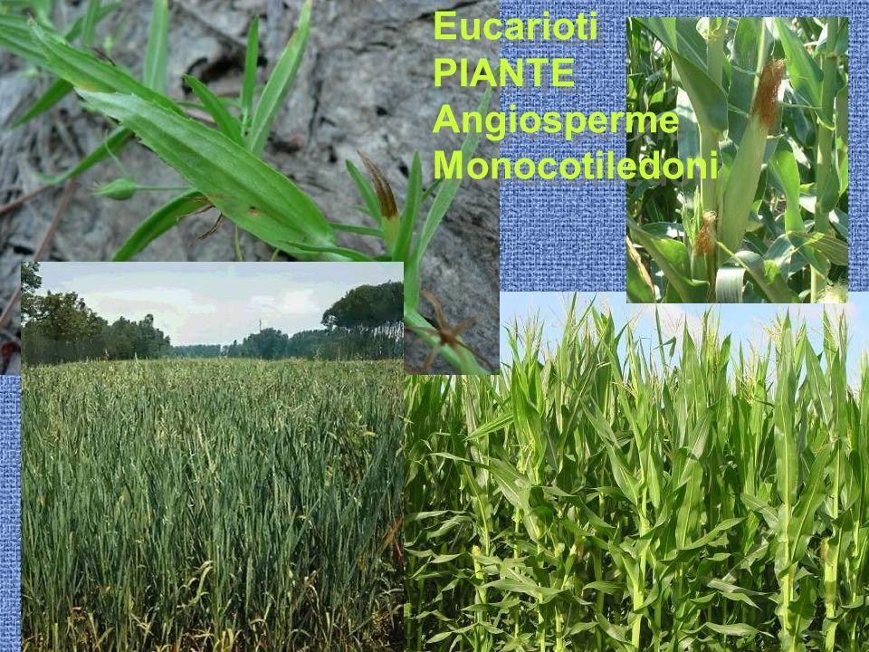 Eucarioti PIANTE Angiosperme Monocotiledoni