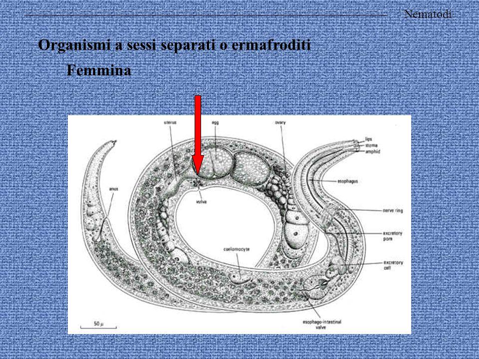 Organismi a sessi separati o ermafroditi