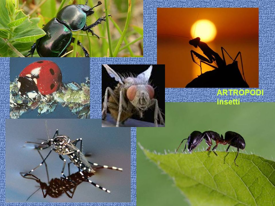ARTROPODI insetti
